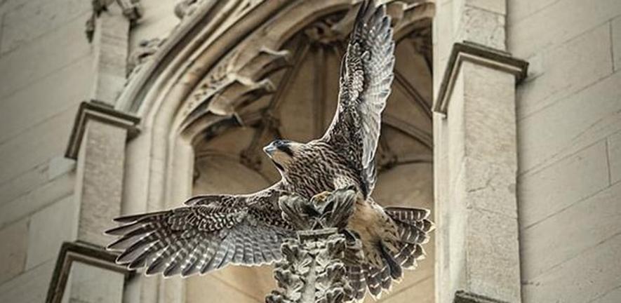 Peregrine falcon in Cambridge